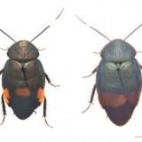 南米 ゴキブリ